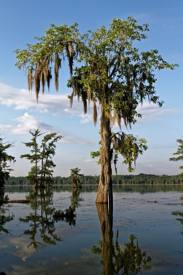 Δέντρο στο bayou στοκ εικόνες