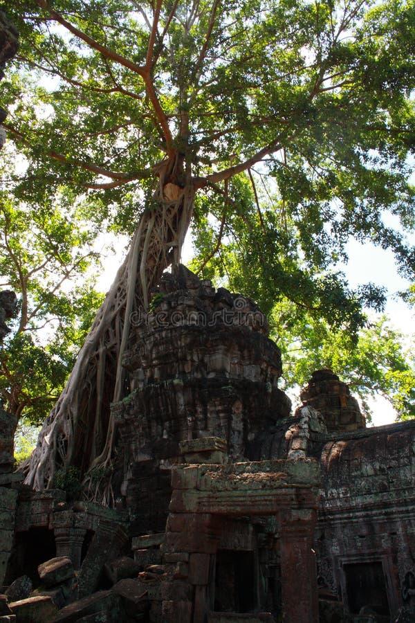 Δέντρο στο TA Prohm στοκ φωτογραφία με δικαίωμα ελεύθερης χρήσης