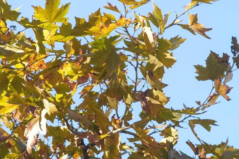 Δέντρο σφενδάμνου με τα κίτρινα και πράσινα φύλλα το φθινόπωρο ενάντια στο μπλε ουρανό στοκ εικόνες