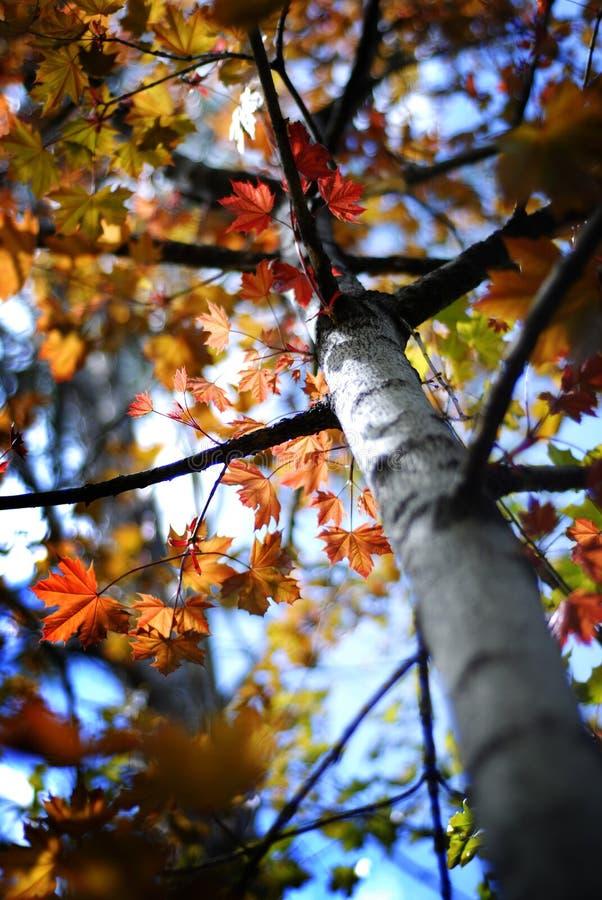 Δέντρο σφενδάμνου με τα φύλλα πτώσης φθινοπώρου στοκ εικόνα