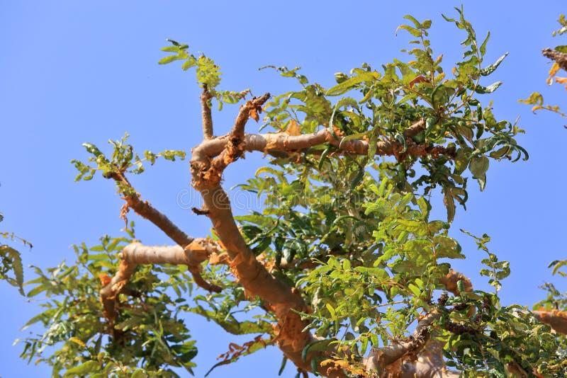 Δέντρο της Βοσβελίας στοκ φωτογραφία