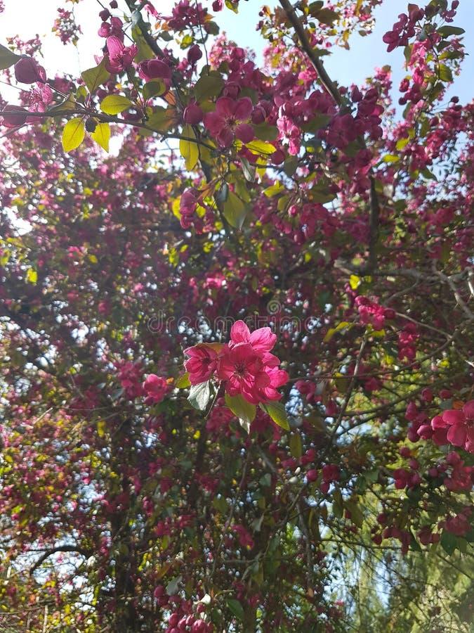 Δέντρο της Apple καβουριών στην άνθιση στοκ φωτογραφίες