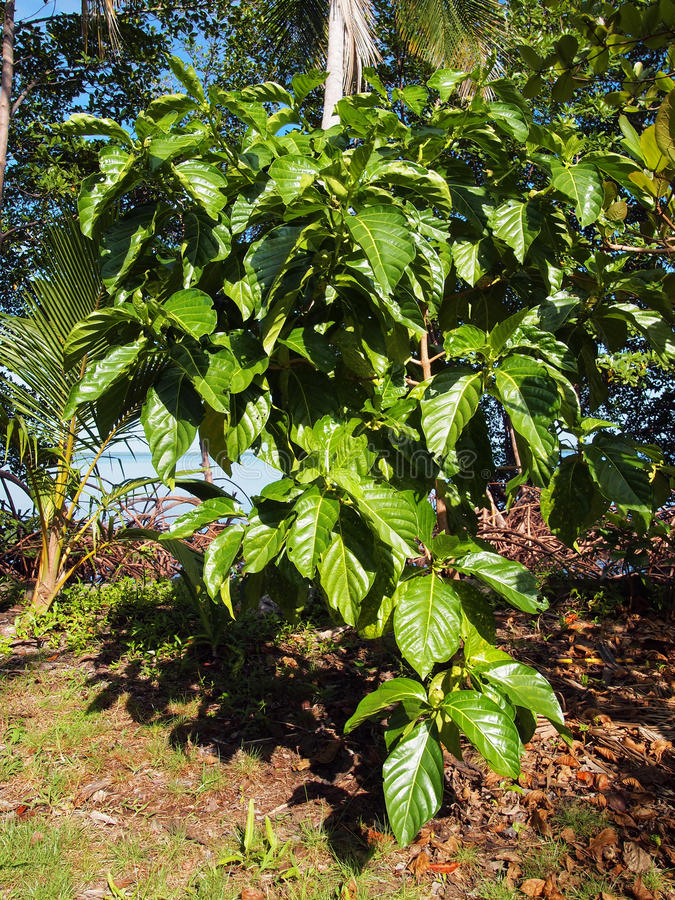 Δέντρο της Noni στοκ εικόνες