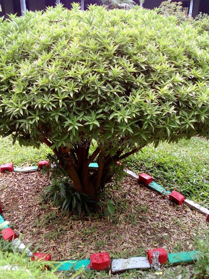 Δέντρο της Panda στοκ φωτογραφίες με δικαίωμα ελεύθερης χρήσης