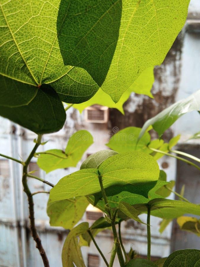 Δέντρο του βαμβακιού στοκ εικόνα