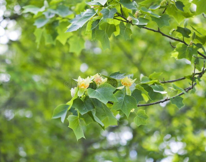 Δέντρο τουλιπών στοκ φωτογραφία με δικαίωμα ελεύθερης χρήσης