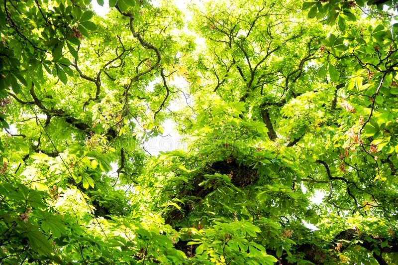 Δέντρο του κάστανου με τα πράσινα φύλλα στην Πράγα, Δημοκρατία της Τσεχίας στοκ εικόνες με δικαίωμα ελεύθερης χρήσης