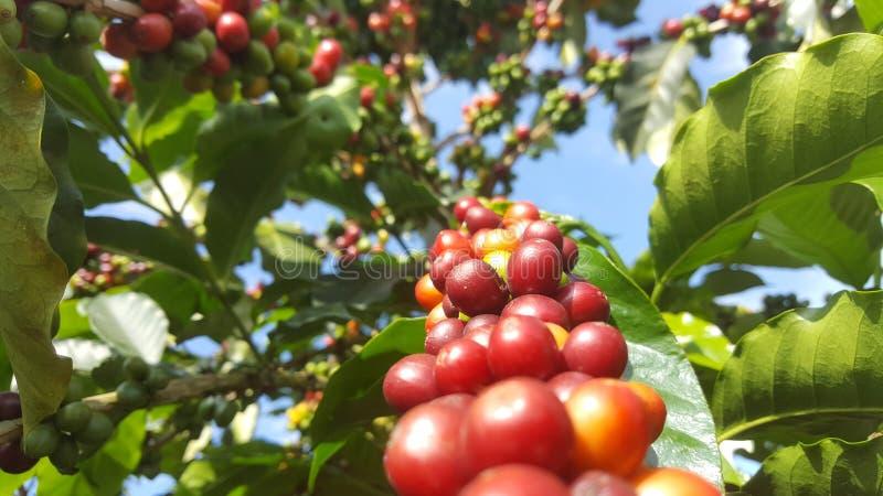 Δέντρο του καφέ στοκ φωτογραφία με δικαίωμα ελεύθερης χρήσης