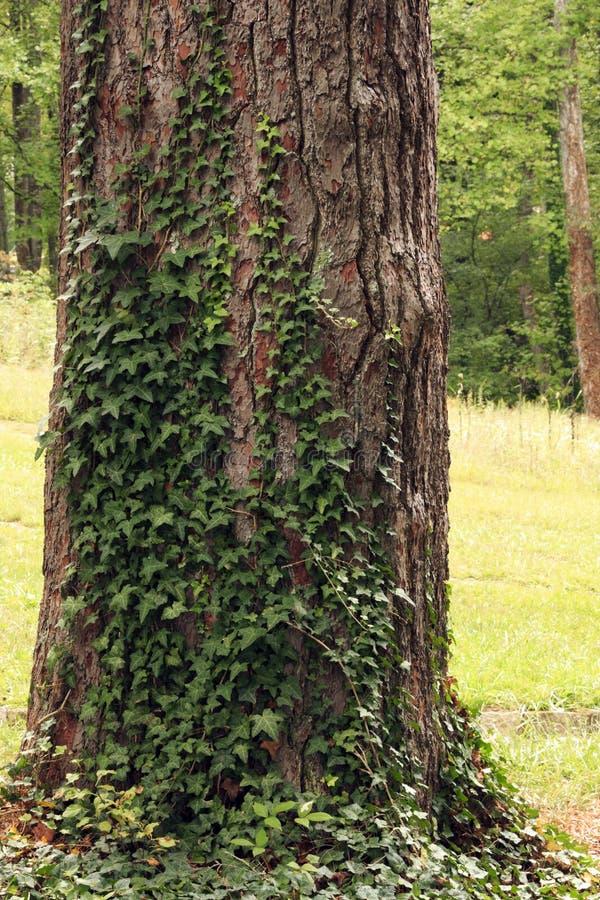 Δέντρο του κισσού στοκ φωτογραφία με δικαίωμα ελεύθερης χρήσης