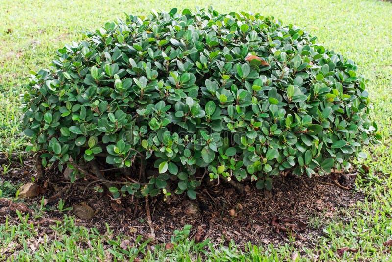 Δέντρο του Μπους στοκ εικόνες με δικαίωμα ελεύθερης χρήσης