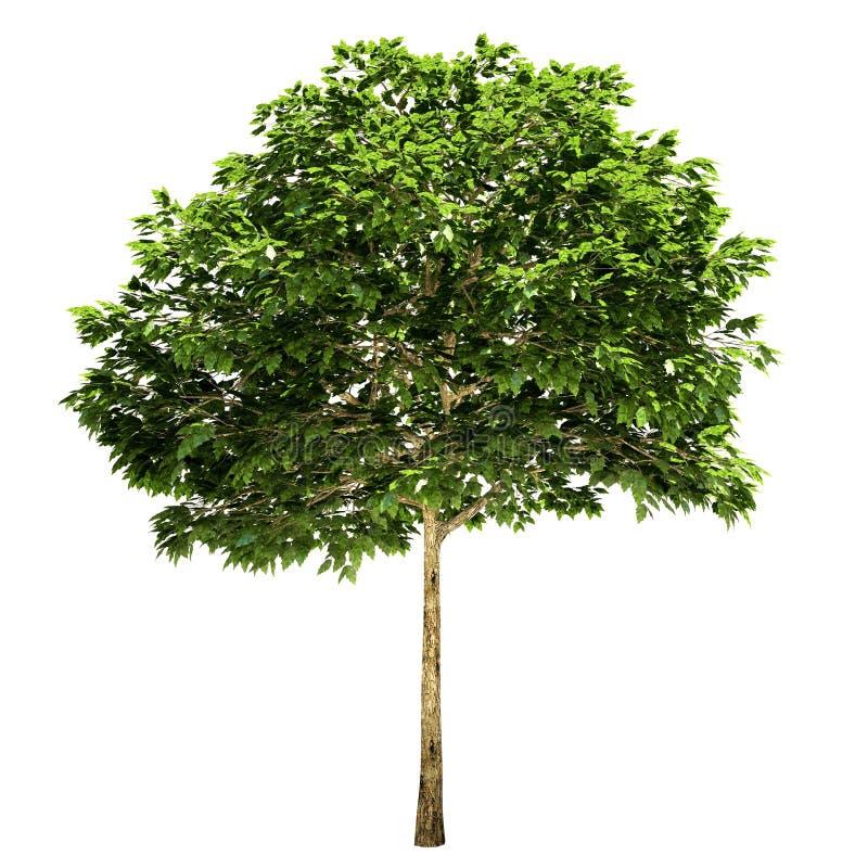 Δέντρο του Rowan που απομονώνεται απεικόνιση αποθεμάτων