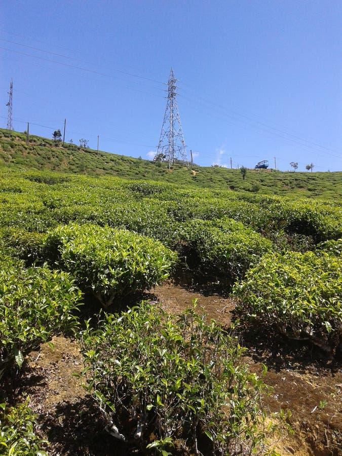 Δέντρο τσαγιού στο κτήμα Σρι Λάνκα στοκ εικόνα με δικαίωμα ελεύθερης χρήσης