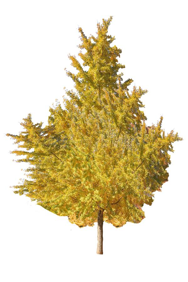 Δέντρο φθινοπώρου που απομονώνεται στο άσπρο υπόβαθρο με το ψαλίδισμα της πορείας στοκ εικόνες με δικαίωμα ελεύθερης χρήσης