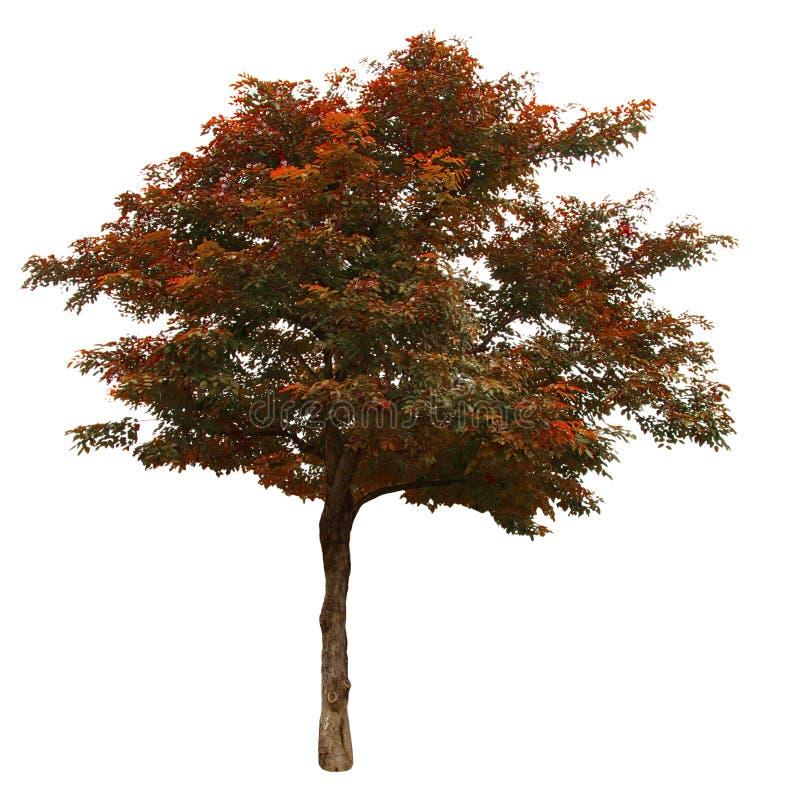 Δέντρο φθινοπώρου που απομονώνεται στο άσπρο υπόβαθρο στοκ φωτογραφία με δικαίωμα ελεύθερης χρήσης