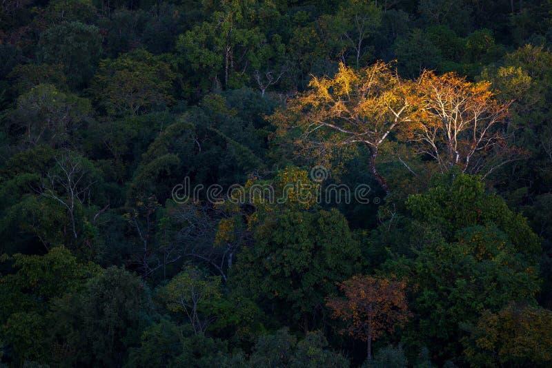 Δέντρο φθινοπώρου στο δάσος με το πρώτο φως στην επαρχία Tak, ταϊλανδικά στοκ εικόνες