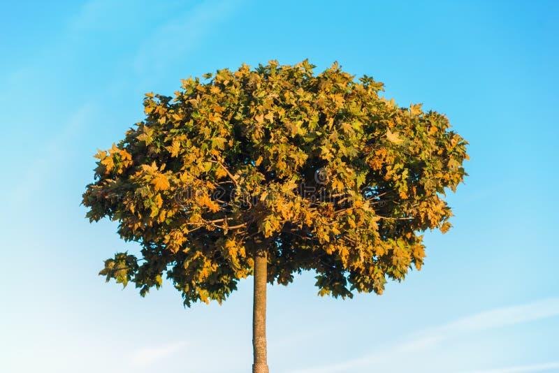 Δέντρο φθινοπώρου στο υπόβαθρο μπλε ουρανού Κίτρινα κόκκινα πράσινα φύλλα στοκ φωτογραφία με δικαίωμα ελεύθερης χρήσης