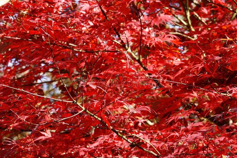 δέντρο φθινοπώρου mapple στοκ φωτογραφίες