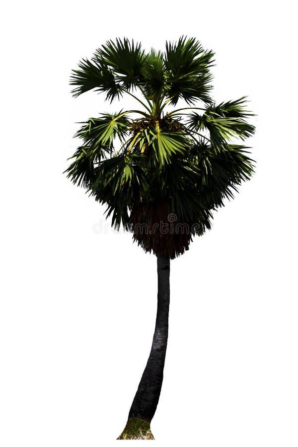 Δέντρο φοίνικας-ζάχαρης, τροπική ανάπτυξη φρούτων στο οργανικό αγρόκτημα που απομονώνεται στο άσπρο υπόβαθρο στοκ εικόνα