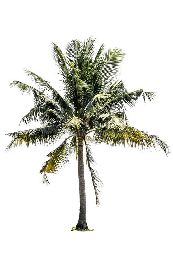 Δέντρο (φοίνικας καρύδων) που απομονώνεται στο άσπρο υπόβαθρο στοκ εικόνες