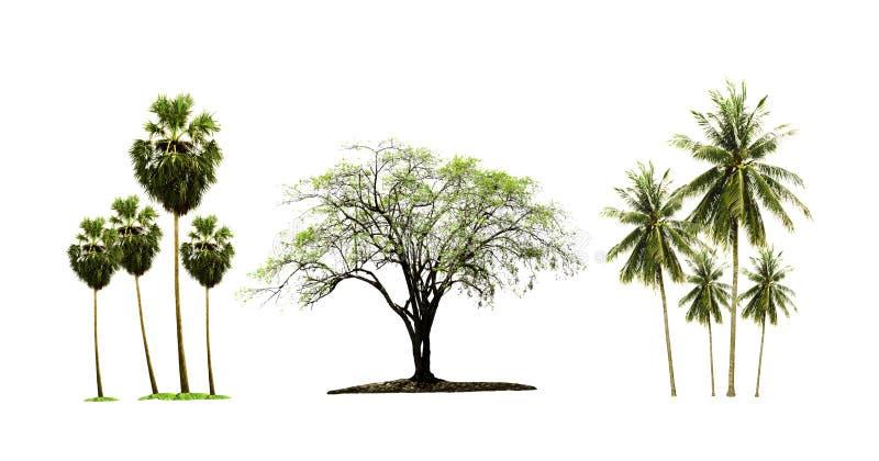 Δέντρο φοινίκων και καρύδων ζάχαρης και ινδικό jujube δέντρο που απομονώνονται στο άσπρο υπόβαθρο στοκ φωτογραφίες