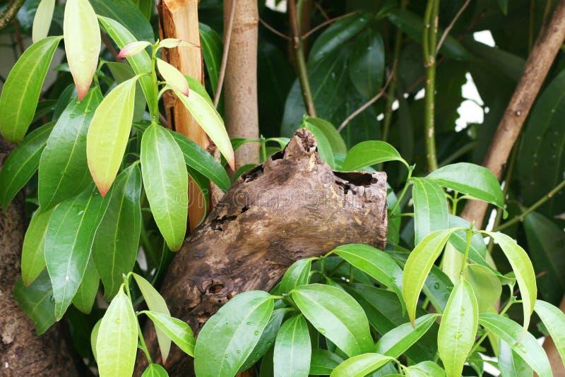 δέντρο φύλλων κανέλας στοκ εικόνες