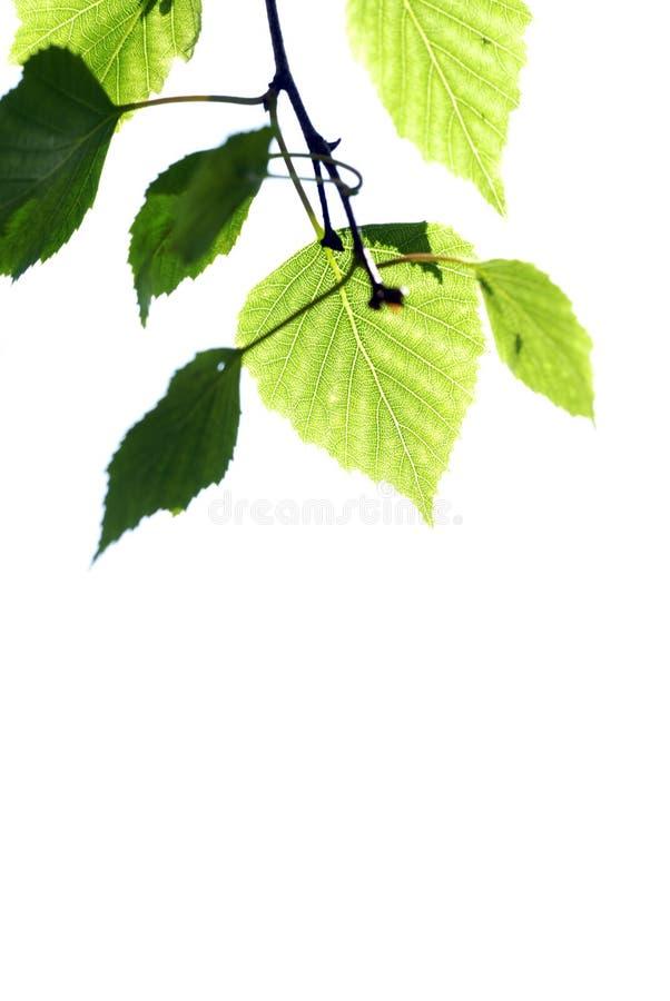 δέντρο φύλλων σημύδων στοκ εικόνες