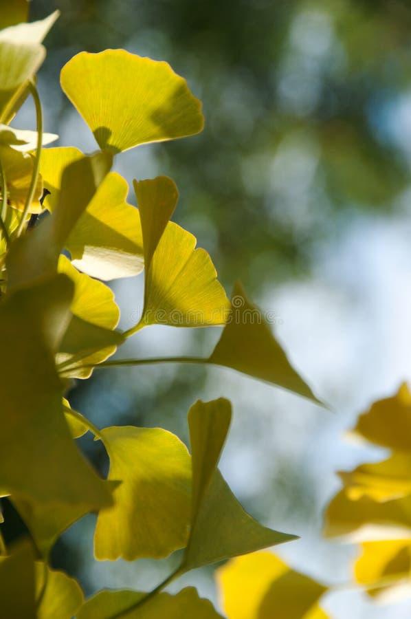 δέντρο φύλλων gingko στοκ εικόνες