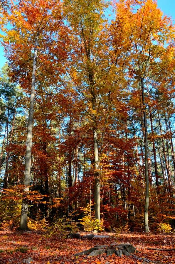 Δέντρο 8 φύλλων φθινοπώρου στοκ εικόνες