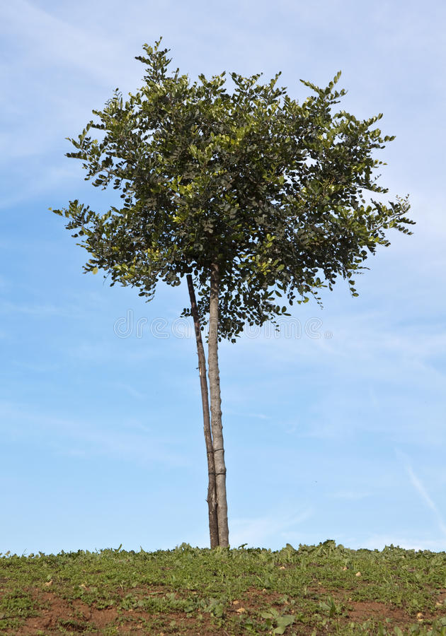 Δέντρο χαρουπιού στοκ εικόνες
