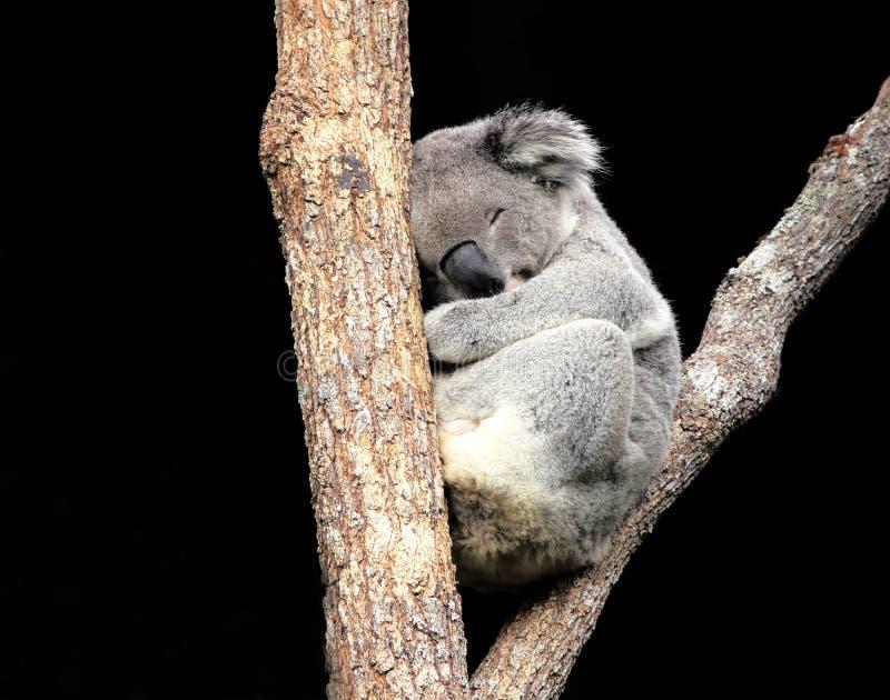 δέντρο ύπνου koala στοκ εικόνες με δικαίωμα ελεύθερης χρήσης