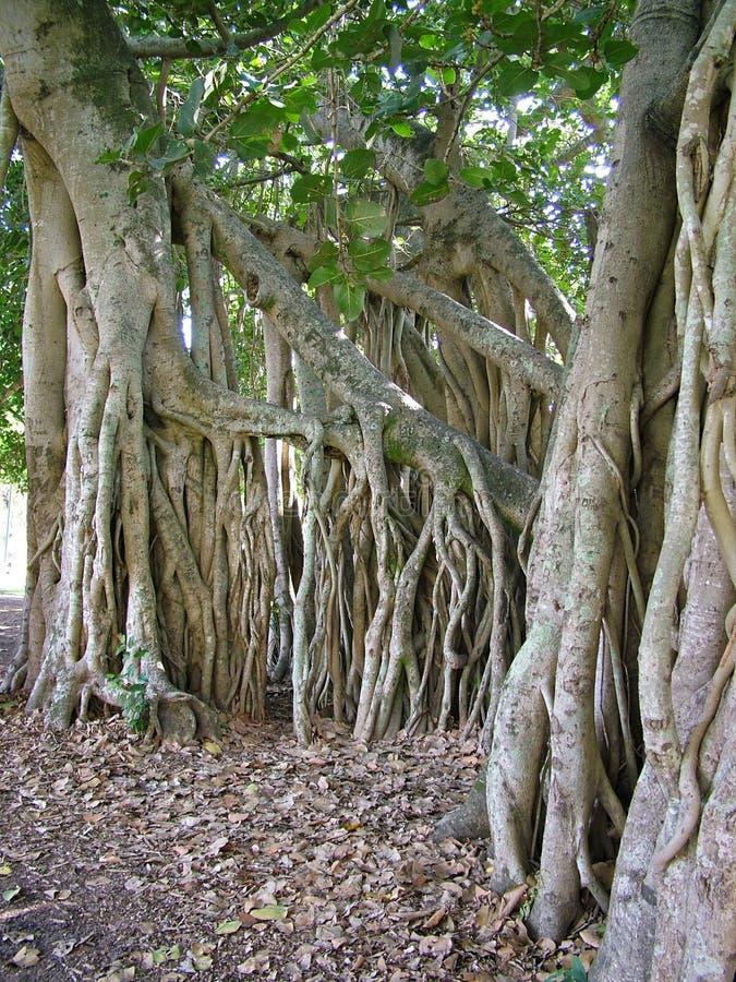 δέντρο 2 ριζών σύκων στοκ εικόνες