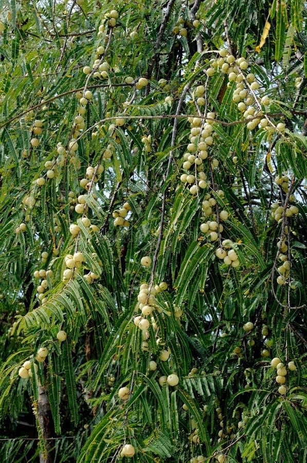 δέντρο amla στοκ φωτογραφία με δικαίωμα ελεύθερης χρήσης