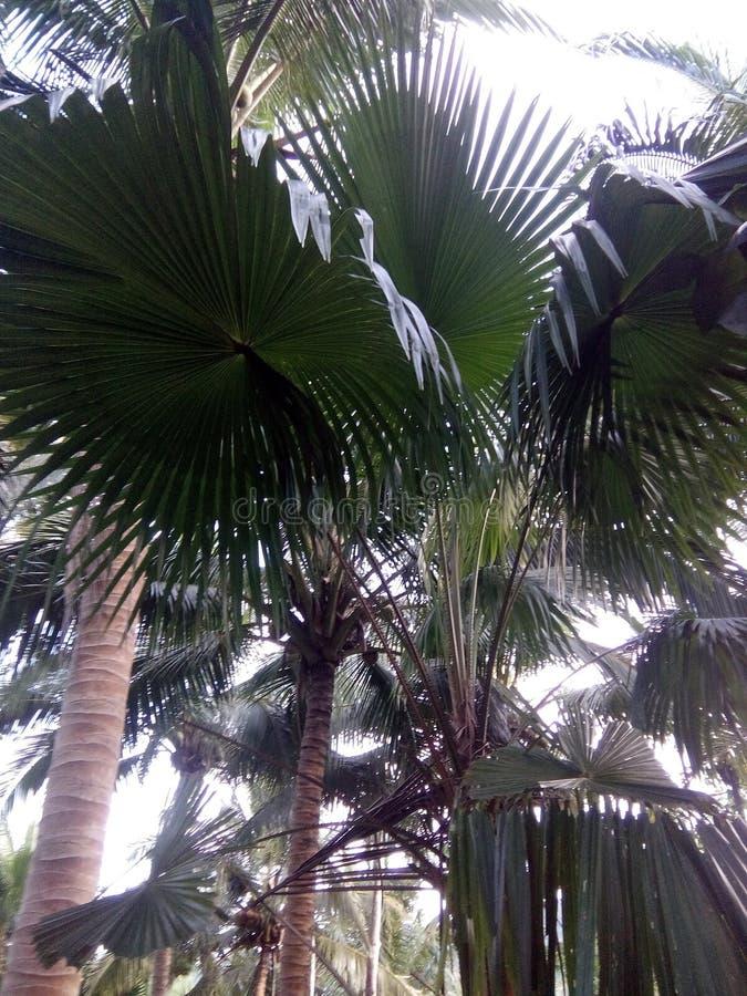 Δέντρο Anahaw στοκ φωτογραφία με δικαίωμα ελεύθερης χρήσης