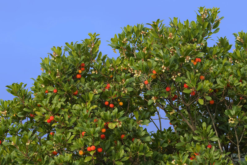 δέντρο arbutus στοκ εικόνα με δικαίωμα ελεύθερης χρήσης