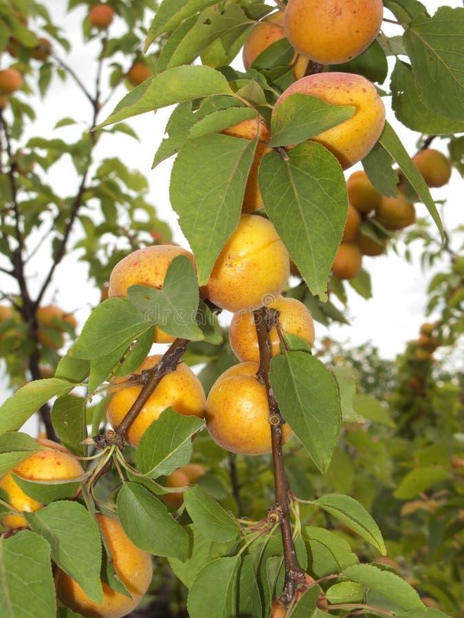 Δέντρο armeniaca Prunus στοκ εικόνες