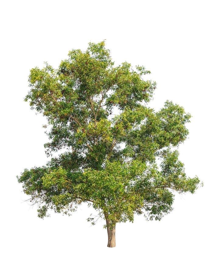 Δέντρο auriculiformis ακακιών που απομονώνεται στο λευκό στοκ φωτογραφία με δικαίωμα ελεύθερης χρήσης