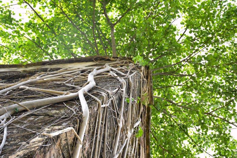 Δέντρο Banyan που καλύπτεται με τις ρίζες στη στέγη του παλαιού σπιτιού ζημίας στοκ εικόνες με δικαίωμα ελεύθερης χρήσης