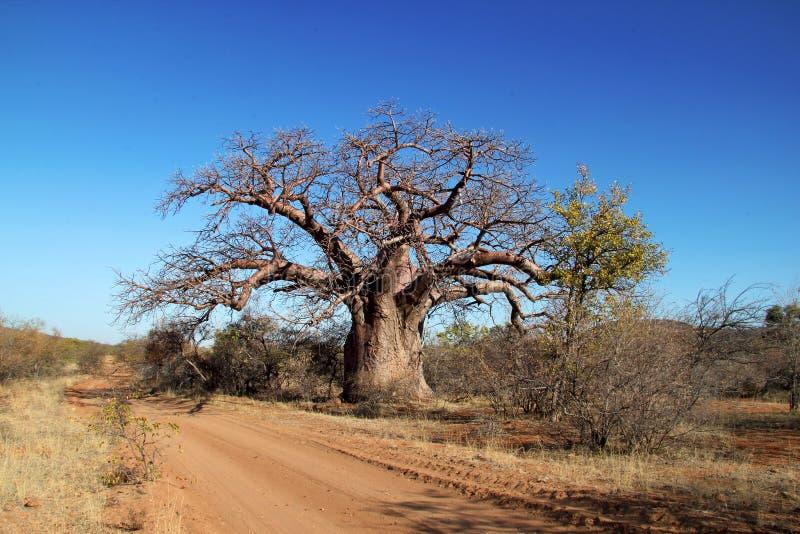 Δέντρο Baoba στοκ εικόνα