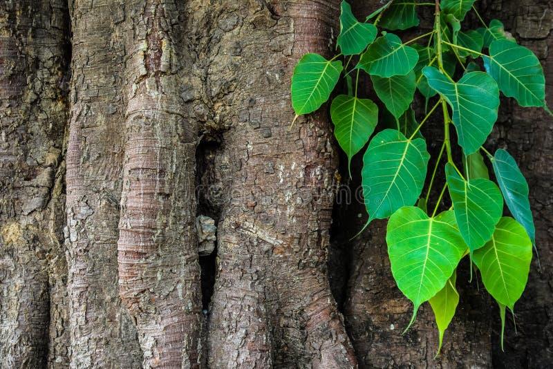 Δέντρο Bodhi στοκ φωτογραφίες με δικαίωμα ελεύθερης χρήσης