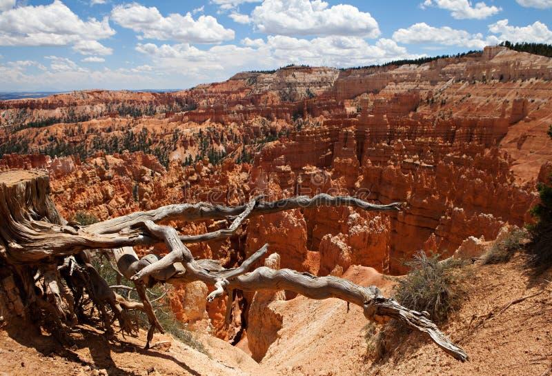 Δέντρο Bristlecone στο φαράγγι του Bryce στοκ φωτογραφία με δικαίωμα ελεύθερης χρήσης