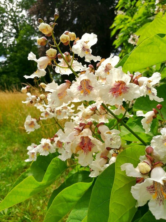 Δέντρο Catalpa - Catalpa bignonioides στοκ εικόνα