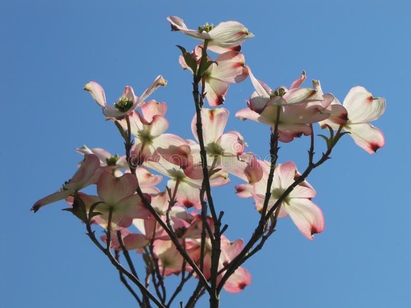 Δέντρο Dogwood ενάντια στον ασυννέφιαστο ουρανό στοκ εικόνες