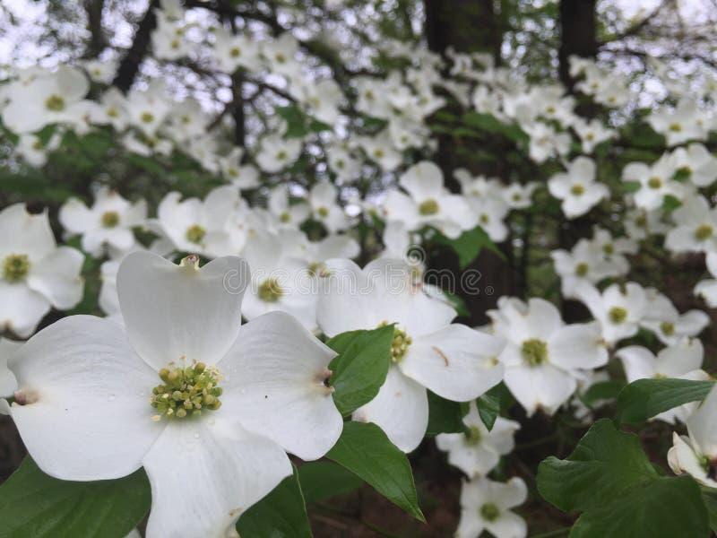 Δέντρο Dogwood στην άνθιση στοκ εικόνα