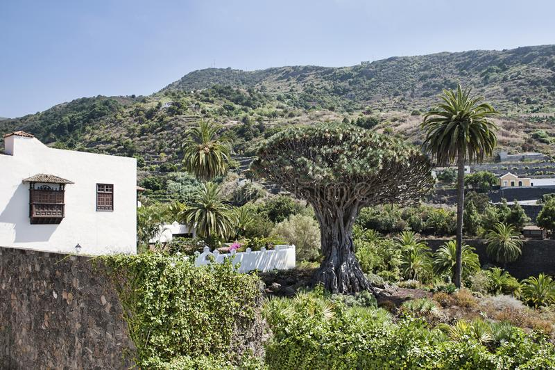 Δέντρο draco Dracaena, γνωστό τοπικά ως Drago Millenario, δημοφιλής έλξη Icod de Los Vinos στοκ φωτογραφία με δικαίωμα ελεύθερης χρήσης