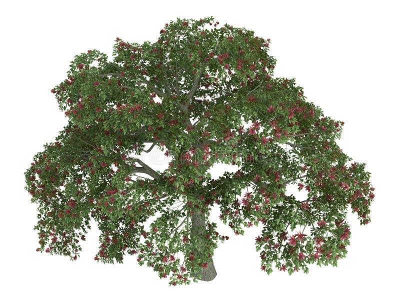 δέντρο erythrina κοραλλιών διανυσματική απεικόνιση