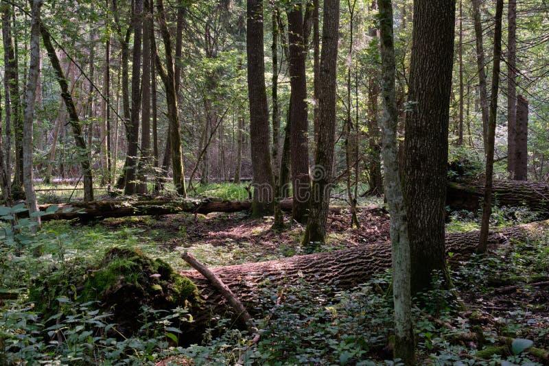 Δέντρο Frash Alder μεικτό δάσος το καλοκαίρι στοκ εικόνες με δικαίωμα ελεύθερης χρήσης