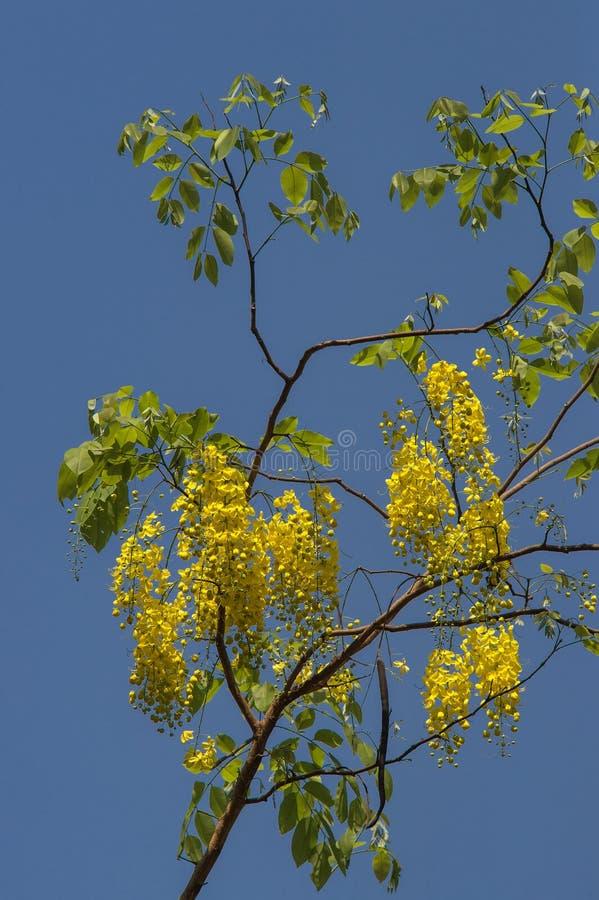 Δέντρο Gulmohar φλογών  Τα πέταλα regia Delonix διαδίδουν παντού το κατώφλι του παλαιού μπανγκαλόου στο belgaum στο karnataka στοκ φωτογραφίες