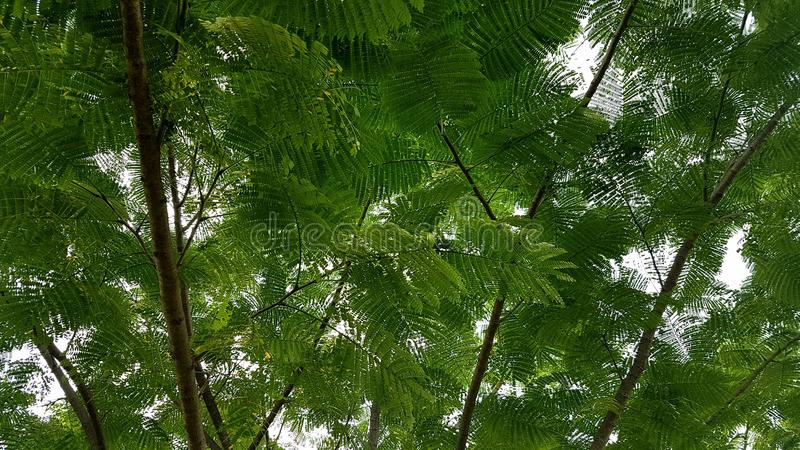 Δέντρο Ipil στοκ φωτογραφία