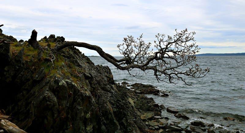 Δέντρο Knarly που αγωνίζεται να επιζήσει στην άκρη του απότομου βράχου βράχου στοκ φωτογραφία με δικαίωμα ελεύθερης χρήσης