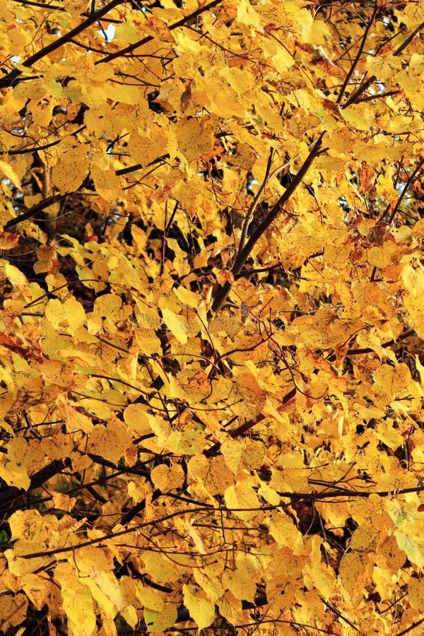 Δέντρο Linden στο δάσος φθινοπώρου στοκ εικόνα με δικαίωμα ελεύθερης χρήσης